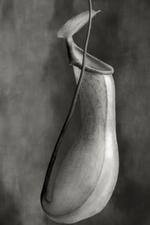 2019 Group Show: Beth Moon – Nepenthes Ventricosa