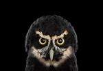 Brad Wilson: Spectacled Owl #1, St. Louis, MO, 2012