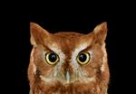 Brad Wilson: Eastern Screech Owl #1, St. Louis, MO, 2012