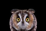 Brad Wilson: Long Eared Owl #1, Espanola, NM, 2011