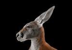 Brad Wilson: Kangaroo #1, Los Angeles, CA, 2011