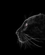 Brad Wilson: Black Leopard #2, Monterey, CA, 2014