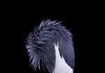 Brad Wilson: African Crowned Crane #4, Los Angeles, CA, 2011