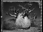 Elaine Ling: Baobab, Tree of Generations #25, 2010
