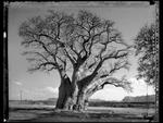 Elaine Ling: Baobab, Tree of Generations #13, 2009
