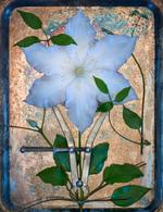 Jo Whaley: Clematis, 2018