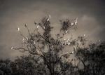Kate Breakey: Corella, Dawn, Murray River, South Australia