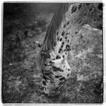 Keith Carter: Appaloosa, 1997