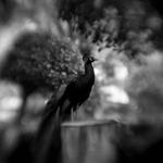 Keith Carter: Peacock Study #2