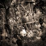 Keith Carter: Chicken party