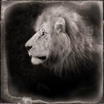 Nick Brandt: Portrait of Lion, Serengeti, 2000