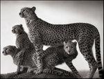 Nick Brandt: Cheetah and Cubs, Maasai Mara, 2003