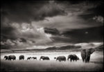 Nick Brandt: Elephant Herd, Serengeti, 2001